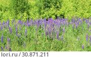 Купить «Beautiful glade with blooming lupins», видеоролик № 30871211, снято 4 июня 2019 г. (c) Володина Ольга / Фотобанк Лори