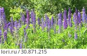 Купить «Beautiful glade with blooming lupins», видеоролик № 30871215, снято 4 июня 2019 г. (c) Володина Ольга / Фотобанк Лори