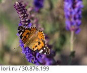 Купить «Urticaria butterfly sitting on a sage flower. Closeup», фото № 30876199, снято 17 июня 2015 г. (c) Наталья Волкова / Фотобанк Лори