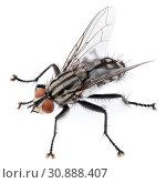 Купить «House fly isolated on white background», фото № 30888407, снято 4 апреля 2019 г. (c) Роман Самохин / Фотобанк Лори