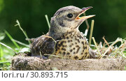 Купить «Baby bird thrush Fieldfare sitting in a nest against the background of the surrounding nature on a sunny summer day», видеоролик № 30893715, снято 8 июня 2019 г. (c) Алексей Кузнецов / Фотобанк Лори