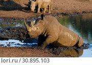 Portrait of white rhinos in the Mkhaya Game Reserve,Siphofaneni, Eswatini former Swaziland. Стоковое фото, фотограф Сергей Майоров / Фотобанк Лори