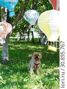 Купить «The dog of small breed (Yorkshire terrier) plays in the park with toy balloons», фото № 30895767, снято 9 июня 2019 г. (c) Землянникова Вероника / Фотобанк Лори