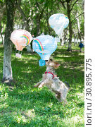 Купить «The dog of small breed (Yorkshire terrier) plays in the park with toy balloons», фото № 30895775, снято 9 июня 2019 г. (c) Землянникова Вероника / Фотобанк Лори