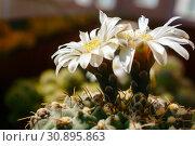 Купить «Beautiful white flowers of blooming cactus Gymnocalycium schroederianum», фото № 30895863, снято 5 июня 2019 г. (c) Евгений Харитонов / Фотобанк Лори