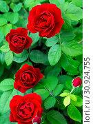 Купить «Gardening, growing roses. Bush red scarlet bright blooming beautiful varietal flower rose in the garden on a flower bed», фото № 30924755, снято 8 июня 2019 г. (c) Светлана Евграфова / Фотобанк Лори