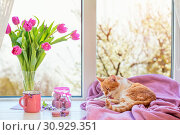 Cozy home concept. Purple fresh tulips in glass vase. Macaroons in glass jar. Cup of hot tea. Lilac blanket on the windowsill. Red white cat kitty on violet plaid. Sunshine. Coloring toned photo. Стоковое фото, фотограф Zoonar.com/Viktoria Kondysenko / easy Fotostock / Фотобанк Лори