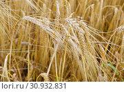Купить «Зрелый ячмень (лат. Hordeum) на поле», фото № 30932831, снято 9 сентября 2017 г. (c) Елена Коромыслова / Фотобанк Лори