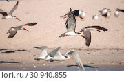 Купить «Flock of black skimmer terns Rynchops niger on the beach at Clam Pass in Naples, Florida», фото № 30940855, снято 10 марта 2018 г. (c) easy Fotostock / Фотобанк Лори