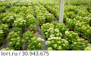 Купить «Hydrangea. Green plantation of new-blown flowers cultivated in greenhouse», видеоролик № 30943675, снято 26 апреля 2019 г. (c) Яков Филимонов / Фотобанк Лори
