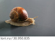 Marco close-up of snail on gray background. Стоковое фото, фотограф Яна Королёва / Фотобанк Лори