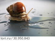 Marco close-up of snail on gray background in water. Стоковое фото, фотограф Яна Королёва / Фотобанк Лори
