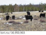 Купить «Yaks graze on the island of Olkhon in the winter. Baikal, Irkutsk Region, Russia», фото № 30950903, снято 17 марта 2019 г. (c) Наталья Волкова / Фотобанк Лори