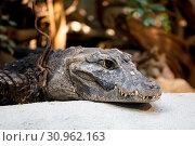 Dwarf crocodile (Osteolaemus tetraspis), also known commonly as the African dwarf crocodile. Стоковое фото, фотограф Zoonar.com/Artush Foto / easy Fotostock / Фотобанк Лори