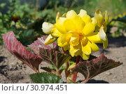 Купить «Желтая клубневая бегония цветет в саду», фото № 30974451, снято 27 июня 2018 г. (c) Елена Коромыслова / Фотобанк Лори