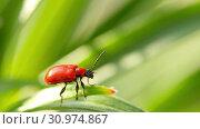 Купить «Lilioceris lilii red beetle, sits on a leaf.», видеоролик № 30974867, снято 13 июня 2019 г. (c) Игорь Жоров / Фотобанк Лори