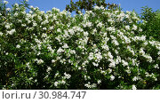 Купить «Beautiful white blooming oleander on a sunny day», видеоролик № 30984747, снято 13 июня 2019 г. (c) Володина Ольга / Фотобанк Лори