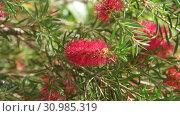 Купить «The Red bottle-brush tree - is a Callistemon», видеоролик № 30985319, снято 13 июня 2019 г. (c) Володина Ольга / Фотобанк Лори
