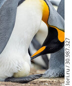 Egg being incubated by adult while balancing on feet. King Penguin (Aptenodytes patagonicus) on the Falkland Islands in the South Atlantic. South America, Falkland Islands, January. Стоковое фото, фотограф Martin Zwick / age Fotostock / Фотобанк Лори