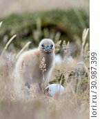 Chick. Falkland Skua or Brown Skua (Stercorarius antarcticus, exact taxonomy is under dispute). They are the great skuas of the southern polar and subpolar... Стоковое фото, фотограф Martin Zwick / age Fotostock / Фотобанк Лори
