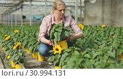 Купить «Smiling female florist showing potted ornamental sunflower grown in her greenhouse», видеоролик № 30994131, снято 25 апреля 2019 г. (c) Яков Филимонов / Фотобанк Лори