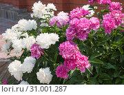 Пышно цветущие белые и розовые пионы у кирпичного забора, крупный план. Стоковое фото, фотограф Наталья Николаева / Фотобанк Лори