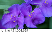 Tradescantia verginiana. Blue flower sways in the wind. Стоковое видео, видеограф Константин Мерцалов / Фотобанк Лори