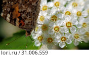 Купить «Butterfly on white inflorescences in the spring. Crataegus monogyna in spring. Pestrokrylnitsa volatile or Pestrokrylnitsa Levan, Araschnia levana on a flower collecting nectar.», видеоролик № 31006559, снято 4 июня 2019 г. (c) Константин Мерцалов / Фотобанк Лори