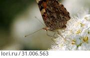 Купить «Butterfly on white inflorescences in the spring. Crataegus monogyna in spring. Pestrokrylnitsa volatile or Pestrokrylnitsa Levan, Araschnia levana on a flower collecting nectar.», видеоролик № 31006563, снято 4 июня 2019 г. (c) Константин Мерцалов / Фотобанк Лори