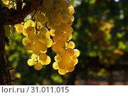 Купить «Close up bunch of white grape hanging at vineyard», фото № 31011015, снято 10 сентября 2016 г. (c) Anton Eine / Фотобанк Лори