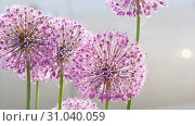 Купить «Insects on the onion flower», видеоролик № 31040059, снято 13 июня 2019 г. (c) Игорь Жоров / Фотобанк Лори