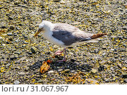 Купить «A shot of a seabird caught picking up a crab along the shore of Bar Harbor», фото № 31067967, снято 19 августа 2018 г. (c) easy Fotostock / Фотобанк Лори