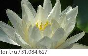 Купить «Ускоренное видео раскрывающейся кувшинки / Time lapse footage of white water lily flower opening with zoom effect», видеоролик № 31084627, снято 29 июня 2019 г. (c) Serg Zastavkin / Фотобанк Лори