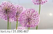 Купить «Insects on the onion flower», видеоролик № 31090467, снято 13 июня 2019 г. (c) Игорь Жоров / Фотобанк Лори