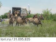 Купить «People release wild horses to the island. Herd of Wild Konik or Polish primitive horse (konik polski or konik biłgorajski).», фото № 31095835, снято 28 июня 2019 г. (c) Некрасов Андрей / Фотобанк Лори