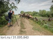 Купить «Videographer shoots herd of Wild Konik or Polish primitive horse (konik polski or konik biłgorajski)», фото № 31095843, снято 28 июня 2019 г. (c) Некрасов Андрей / Фотобанк Лори
