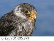 Купить «Portrait of Amur falcon (Falco amurensis) on blue water background, Siberia, Russia», фото № 31095879, снято 4 апреля 2018 г. (c) Некрасов Андрей / Фотобанк Лори
