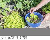 Купить «Femail hand picking food from the garden as lettuce and chard for the evening salad», фото № 31113751, снято 4 июня 2018 г. (c) easy Fotostock / Фотобанк Лори