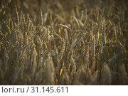Купить «Resuming at sunset of a grain crop in italy, grain now ready for harvest.», фото № 31145611, снято 1 января 2001 г. (c) easy Fotostock / Фотобанк Лори