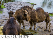 Купить «Dromedary chewing on some hay, animal from the African desert», фото № 31169579, снято 11 января 2019 г. (c) easy Fotostock / Фотобанк Лори