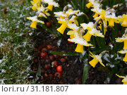 Купить «Small tete-a-tete daffodils, covered in a dusting of snowflakes in early spring», фото № 31181807, снято 18 марта 2018 г. (c) easy Fotostock / Фотобанк Лори