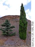 Купить «Lifeless pigeon spruce and juniper firmly hold on dry ground on a rock», фото № 31195759, снято 7 августа 2011 г. (c) easy Fotostock / Фотобанк Лори