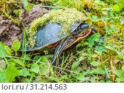 Painted Turtle laying its eggs in Green Bay, Wisconsin. Стоковое фото, фотограф ImgesByCheri.com / easy Fotostock / Фотобанк Лори