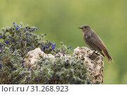 Купить «Black Redstart (Phoenicurus ochruros)», фото № 31268923, снято 12 мая 2018 г. (c) easy Fotostock / Фотобанк Лори