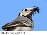 Купить «Motacilla alba. Портрет белой трясогузки с насекомым в клюве», фото № 31379715, снято 3 июля 2019 г. (c) Григорий Писоцкий / Фотобанк Лори