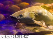 Купить «Red tail catfish face in closeup, big fish from the amazon basin, popular fish in aquaculture and the fishing sport», фото № 31388427, снято 15 февраля 2019 г. (c) easy Fotostock / Фотобанк Лори