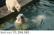 Купить «Polar bear with cubs playing in water», видеоролик № 31394343, снято 23 июня 2019 г. (c) Игорь Жоров / Фотобанк Лори