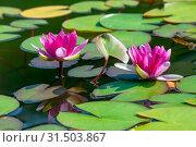 Купить «Розовые цветы водяной лилии в пруду», фото № 31503867, снято 11 июля 2018 г. (c) Татьяна Белова / Фотобанк Лори