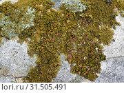 Купить «Parmelia pulla, Xanthoparmelia pulla or Neofuscelia pulla is a foliose lichen with brown-greenish apothecia. Hydrated sample. This photo was taken in La Albera, Girona province, Catalonia, Spain.», фото № 31505491, снято 2 мая 2019 г. (c) age Fotostock / Фотобанк Лори