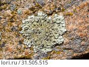Купить «Parmelia caperata or Flavoparmelia caperata is a foliose lichen with soralia and occasionally abrown apothecia. This photo was taken in Arribes del Duero...», фото № 31505515, снято 29 мая 2019 г. (c) age Fotostock / Фотобанк Лори